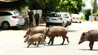 חזירים בר בחיפה