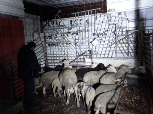 הכבשים בראמה. צילום: דוברות משטרת ישראל