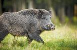 חזיר בר. צילום: shutterstock